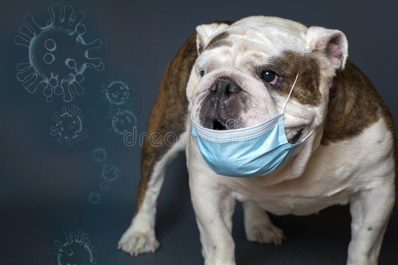 English bulldog wearing a covid-19 mask